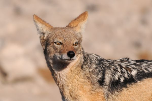 Chacal Black backed jackal Canis mesomelas
