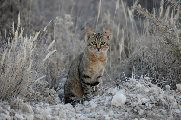 Chat sauvage African wild cat Felis sylvestris lybica