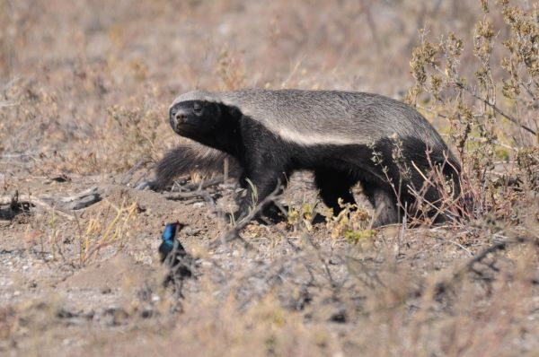 Ratel Honey badger Mellivora capensis