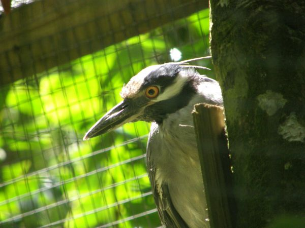Crabier bois Yellow crowned night heron Nycticorax violaceus
