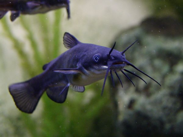 Poisson chat Black bullhead Ameiurus melas
