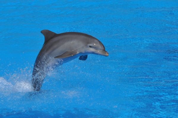 Grand dauphin Bottlenosed dolphin Tursiops truncatus