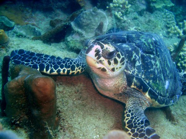 Tortue imbriquee Hawksbill turtle eating Eretmochelys imbricata