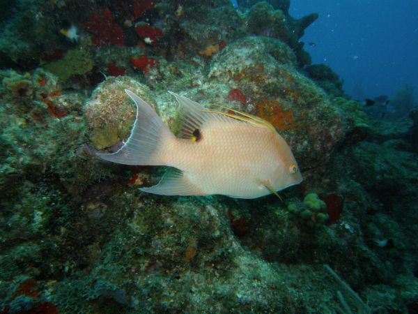 Capitaine Hogfish Lachnolaimus maximus