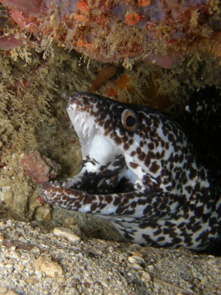 Murene noire Spotted moray Gymnothorax moringa