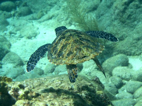 Tortue imbriquee Hawksbill turtle Eretmochelys imbricata