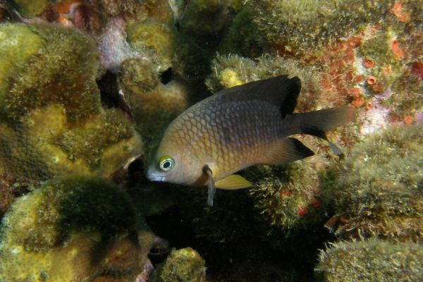 Demoiselle trois points Threespot damselfish Stagastes planifrons