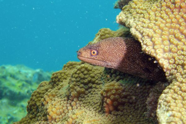 Murene porcelaine Goldentail moray Gymnothorax miliaris