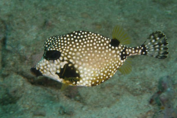 Posson coffre mouton Smooth trunkfish Lactophrys triqueter
