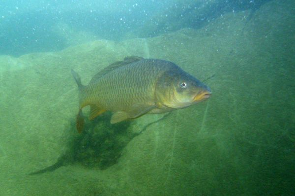 Carpe commune  Cyprinus carpius carpius