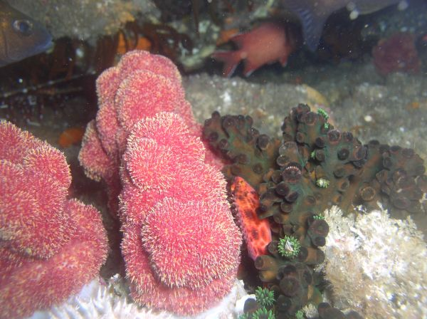 Corail mou Red soft coral Dendronephthya gigantea